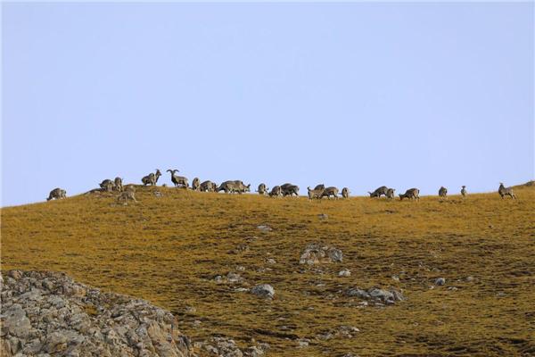国家二级保护动物藏原羚、岩羊首次大规模亮相甘肃玛曲县1.jpg