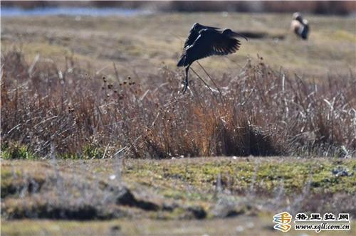 云南省香格里拉市首次发现国家二级重点保护鸟类彩鹮2.jpg