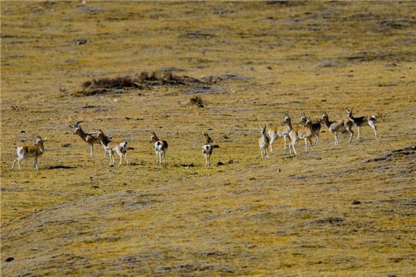 国家二级保护动物藏原羚、岩羊首次大规模亮相甘肃玛曲县2.jpg