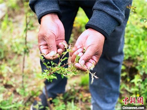 青海班玛:青藏高原唯一藏雪茶种植区 户户享收益2.jpg