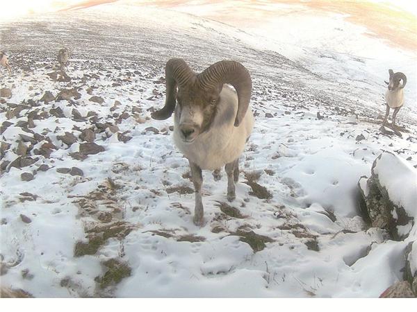 青海省新增数十种国家一级保护动物2.jpg