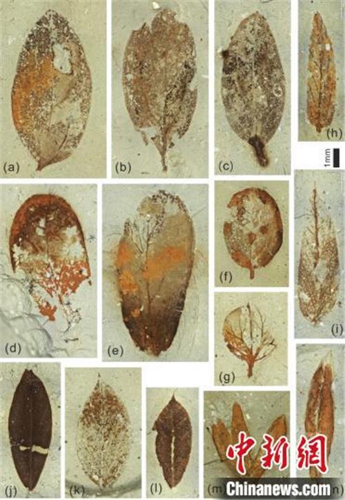 植物化石揭示了青藏高原西端的干旱化过程2.jpg