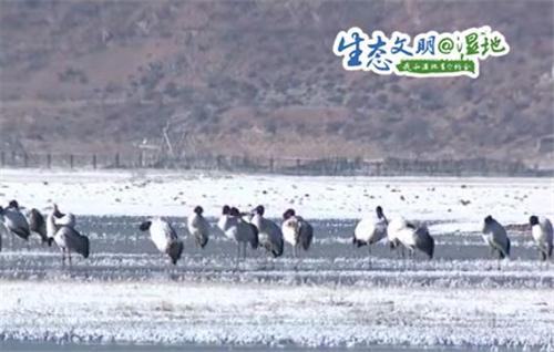 云南香格里拉纳帕海自然保护区冬季观鸟正当时1.jpg