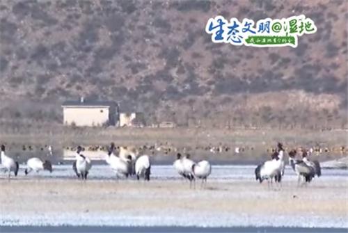 云南香格里拉纳帕海自然保护区冬季观鸟正当时3.jpg