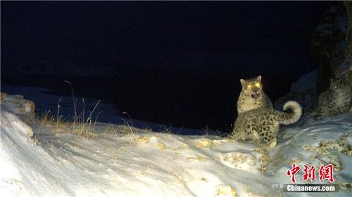 监测显示黄河源地区拥有健康雪豹种群 且在繁殖