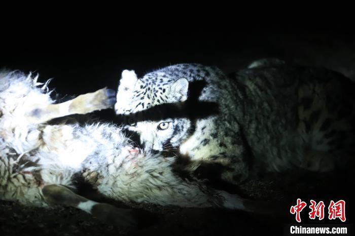 长江、澜沧江源启动旗舰物种雪豹及栖息地保护项目