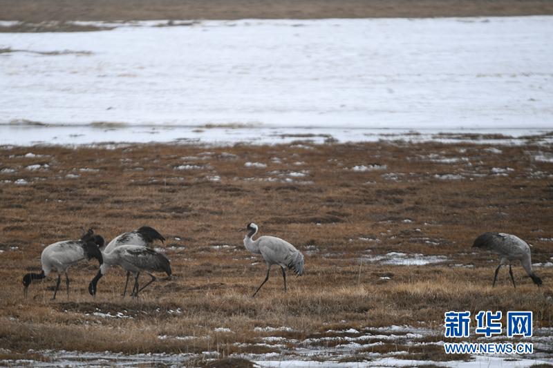 春回大地鸟飞归 青海湖水鸟数量持续增加
