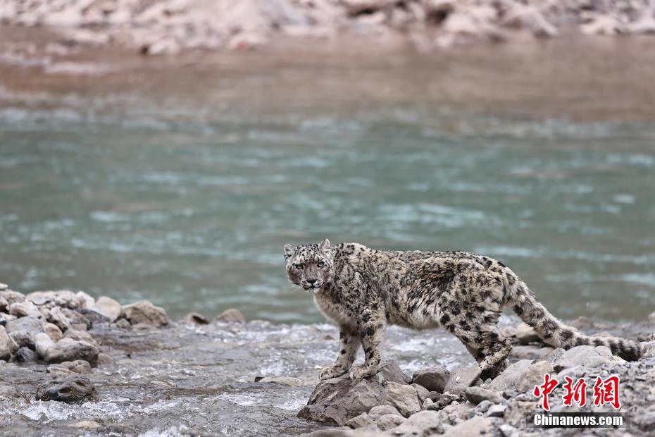 澜沧江源区生态管护、体验者拍雪豹渡河珍贵画面