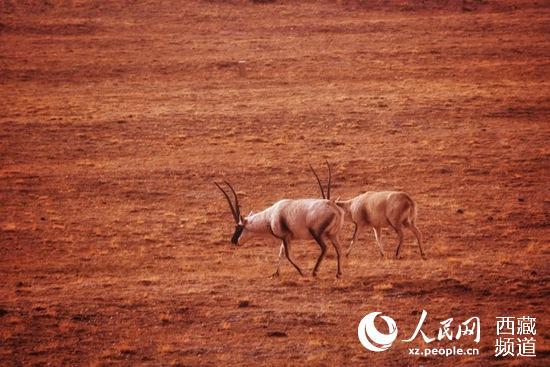 西藏现有陆生脊椎动物1072种 发现中国新纪录5个