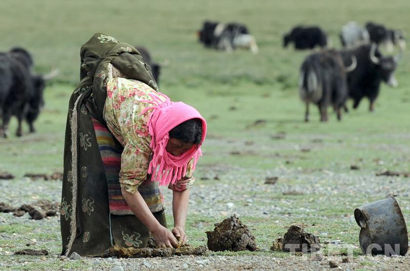 牛粪:暖的源泉、春的化身