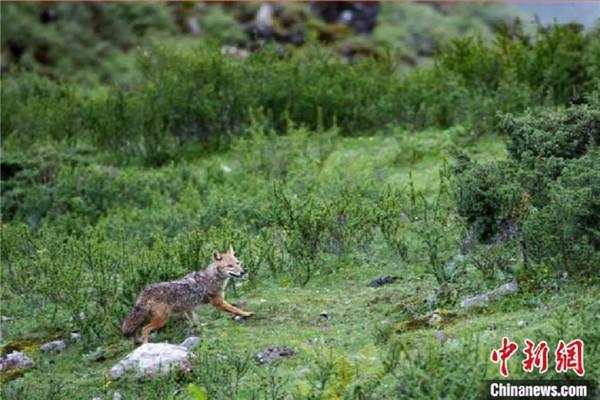 西南林业大学科考团队在西藏发现亚洲胡狼种群
