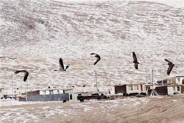 嘉塘草原黑颈鹤采访手记