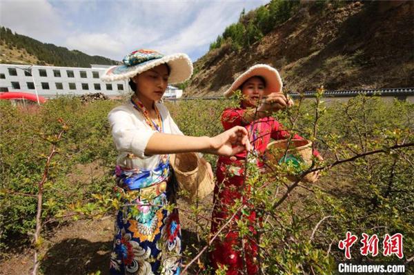 青海省果洛州班玛县举行第三届藏雪茶采摘节