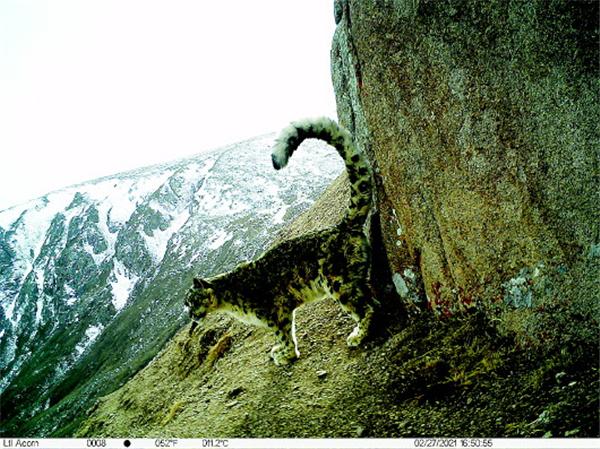 甘肃夏河达县力加山拍摄到野生雪豹清晰影像