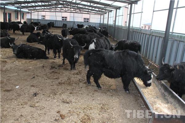 四川理塘:智能养牦牛 产值2亿元 全年可供应