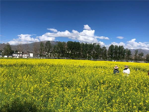 """西藏:构建""""油菜+桃花""""立体景观农业模式"""
