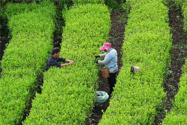 西藏林芝市:大力发展茶产业 助推乡村振兴