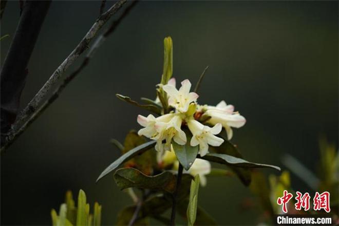 极度濒危植物折萼杜鹃时隔97年再次现世
