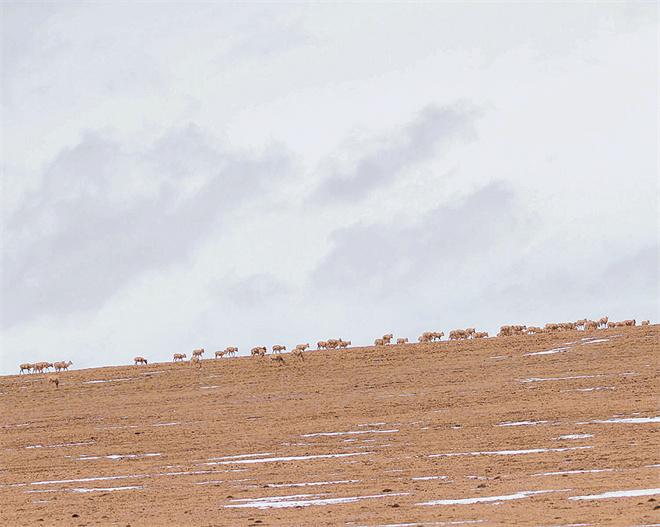 身后和远方——目击藏羚羊大迁徙
