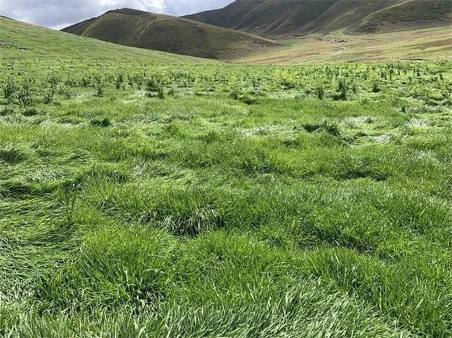 中国加强青藏高原高寒草原修复 进程明显加快