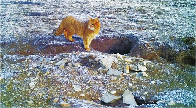青海玉树州嘉塘草原荒漠猫育儿过程首次被记录