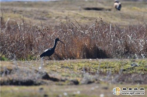 云南省香格里拉市首次发现国家二级重点保护鸟类彩鹮1.jpg