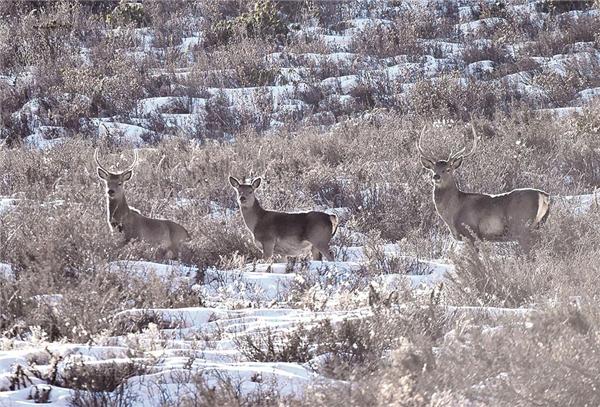 青海省新增数十种国家一级保护动物1.jpg
