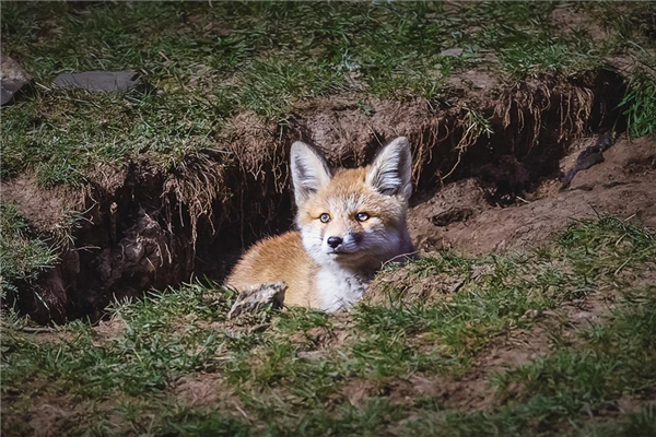 雪域草原上,那些小赤狐的一天3.jpg