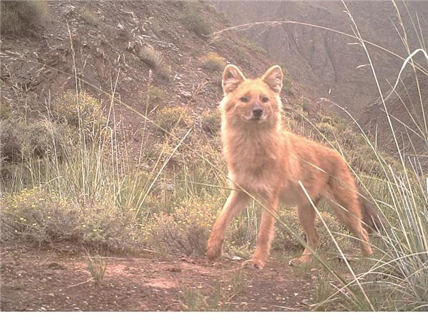 青海省新增数十种国家一级保护动物3.jpg