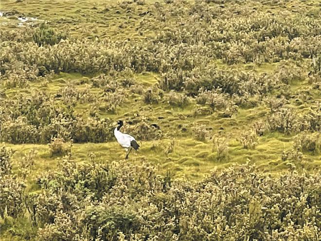国家一级保护动物 黑颈鹤再次现身白玉.jpg
