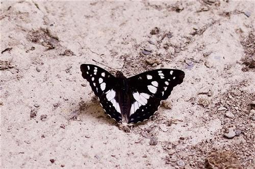 青藏科考新发现:累积蛱蝶刷新西藏蝴蝶分布记录.jpg