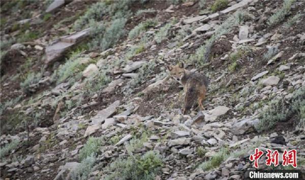 西南林业大学科考团队在西藏发现亚洲胡狼种群2.jpg