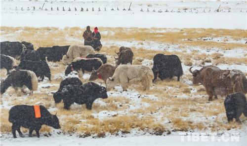 吴雨初:牦牛与藏族人民情感血肉相连4.jpg