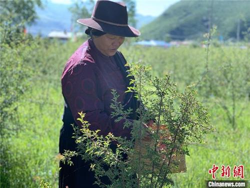 青海班玛:青藏高原唯一藏雪茶种植区 户户享收益1.jpg