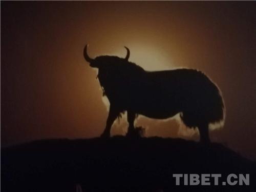 吴雨初:牦牛与藏族人民情感血肉相连3.jpg