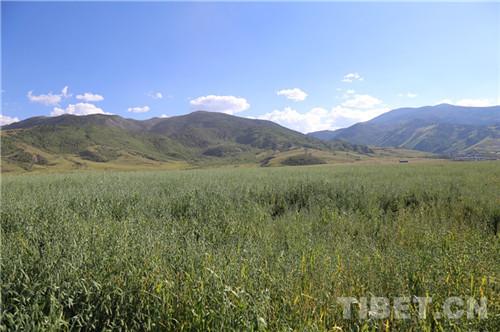 四川理塘县基本建成4.8万亩优质牧草基地.jpg
