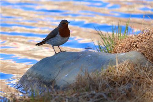 云南迪庆将举办第四届香格里拉冬季国际观鸟节1.jpg