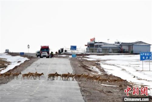 青海可可西里今年藏羚羊迁徙产仔结束.jpg