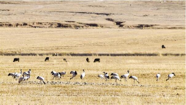 西藏野生动物保护工作成效显著 黑颈鹤种群数量已上升到约8000只.jpg