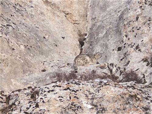 栖息地生态环境改善 青海天峻县再现雪豹活动踪影1.jpg