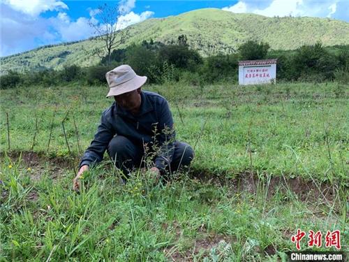 青海班玛:青藏高原唯一藏雪茶种植区 户户享收益3.jpg