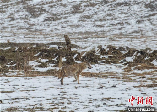 四川首个狼生态保护监测站在若尔盖成立1.jpg