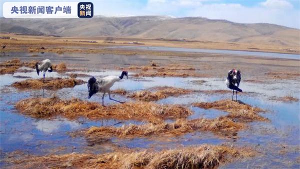 黑颈鹤来做客 甘肃尕海湖迎来候鸟迁徙期2.jpg