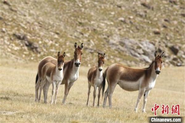 三江源国家公园首次建立野生动物本底数据库1.jpg