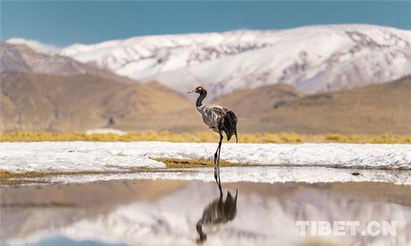 西藏牧民沿袭数千年传统轮牧制度中的生态智慧3.jpg