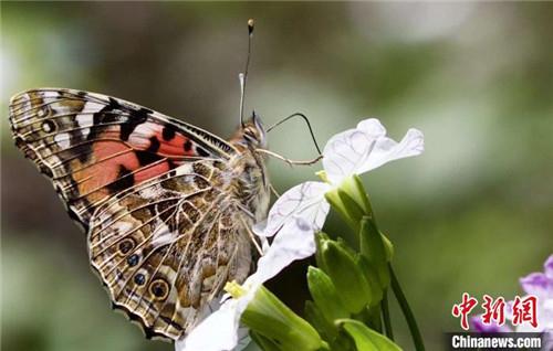 """西藏分布567种蝶类首次拥有藏汉双语""""身份""""名录6.jpg"""