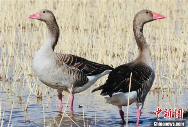 可鲁克湖-托素湖自然保护区鸟类名录增至124种3.jpg