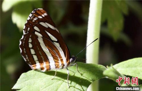 """西藏分布567种蝶类首次拥有藏汉双语""""身份""""名录4.jpg"""