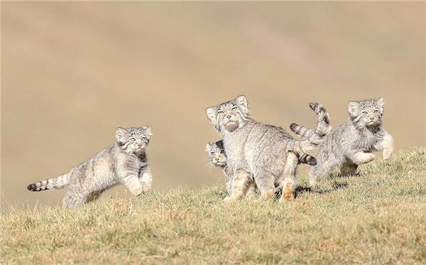青海省新增数十种国家一级保护动物6.jpg
