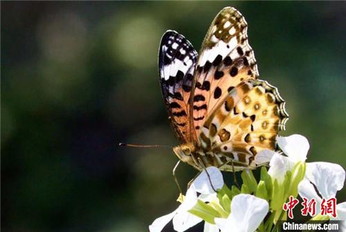"""西藏分布567种蝶类首次拥有藏汉双语""""身份""""名录5.jpg"""
